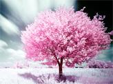 Sakula Tree