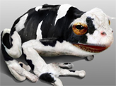 Cow Frog
