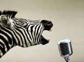 Rock Roll Zebra