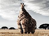 Fatness Giraffe