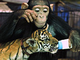 Chimp Feeds Tiger Cub.jpg