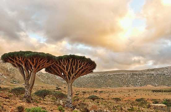 Dragonblood Trees
