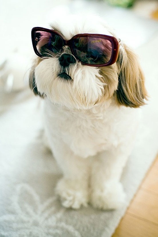Lol Shih Tzu In Sunglasses Creative Photo The Design Inspiration