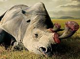 Horns Are Not Created to Kill Rhinoceros