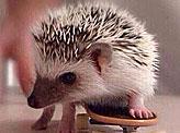 A Hedgehog On A Skateboard