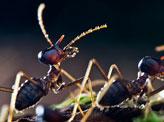 Nasutitermitinae Termite Soldier