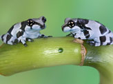 Two Milk Frogs