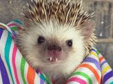 Vampire Hedgehog