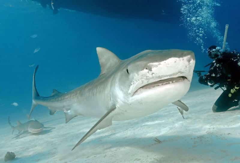 Shark Emma