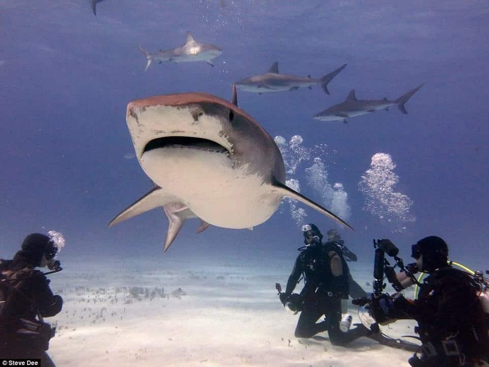 Shark Steve Dee