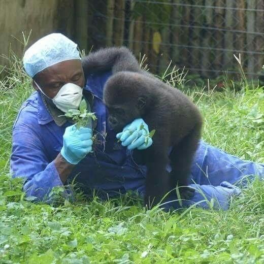 Gorilla Caregiver