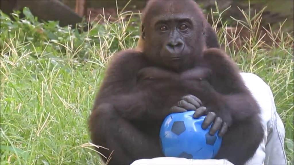 Gorilla Soccer