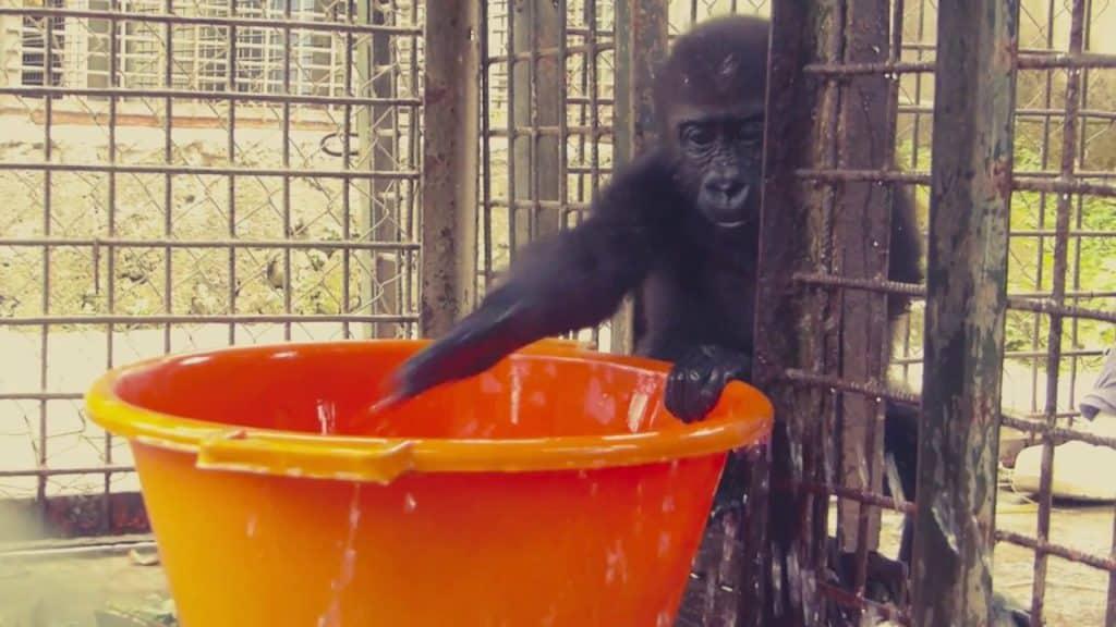 Gorilla Water