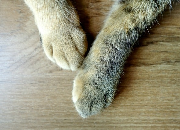 Swollen Paws Cats