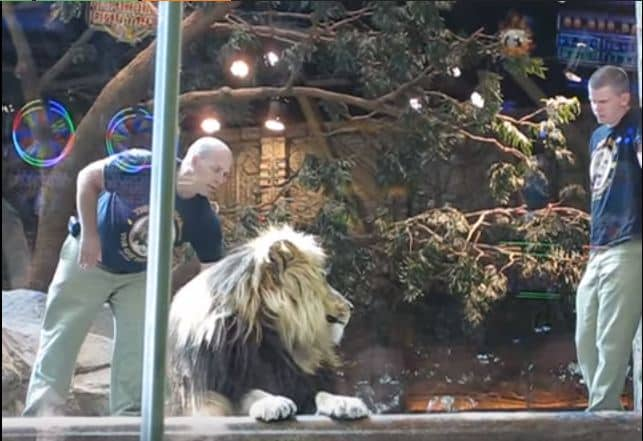 Lion Attacks His Trainer But Loyal Lioness Jumps In And Saves His Life