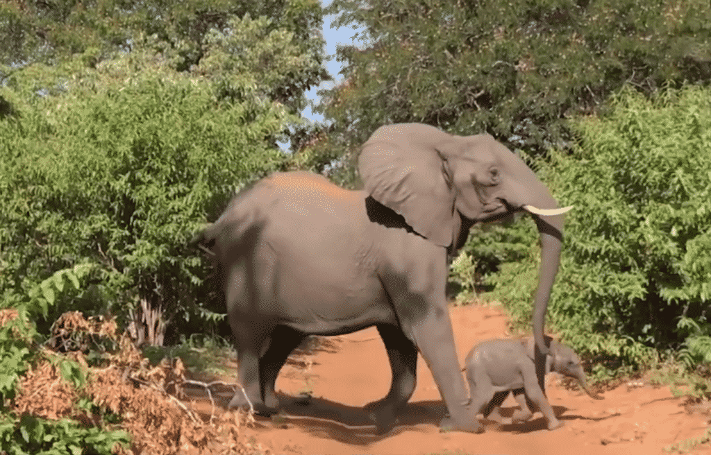 Macintosh HD:Users:brittanyloeffler:Downloads:Upwork:Elephant:13-female-elephant-and-her-baby-crossing-1024x656.png