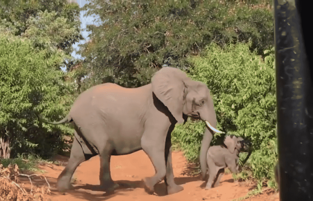 Macintosh HD:Users:brittanyloeffler:Downloads:Upwork:Elephant:14-female-elephant-and-her-baby-crossing-1024x657.png