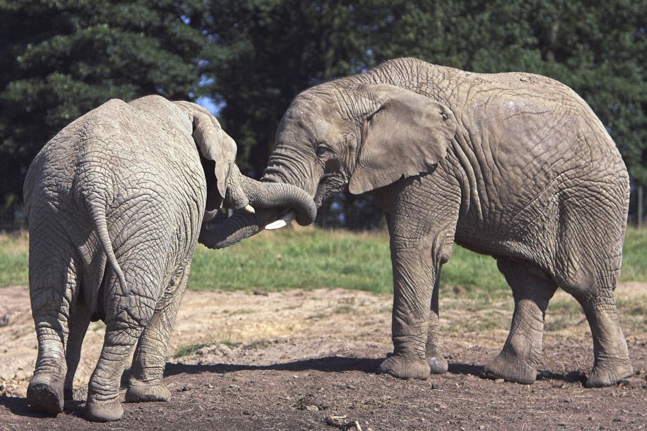 Macintosh HD:Users:brittanyloeffler:Downloads:Upwork:Elephant:1280-139977995-young-elephants-playing.jpg
