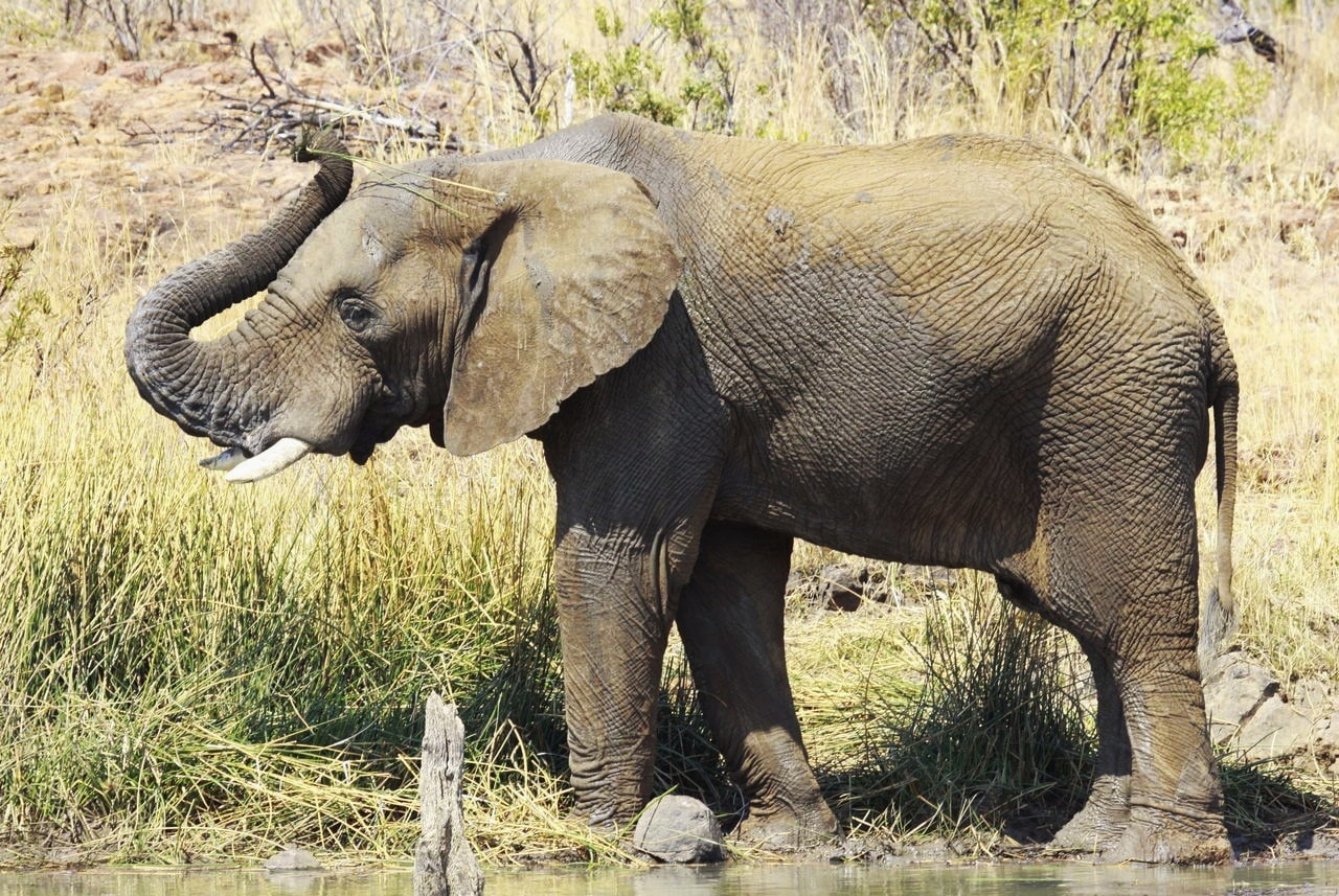 Macintosh HD:Users:brittanyloeffler:Downloads:Upwork:Elephant:african-bush-elephant-1.jpg