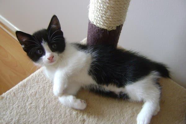 Macintosh HD:Users:brittanyloeffler:Downloads:Upwork:Kittens:black_and_white_kitten_by_princessirika.jpg