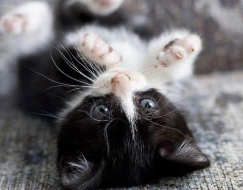 Macintosh HD:Users:brittanyloeffler:Downloads:Upwork:Kittens:black-white-kitten.jpg