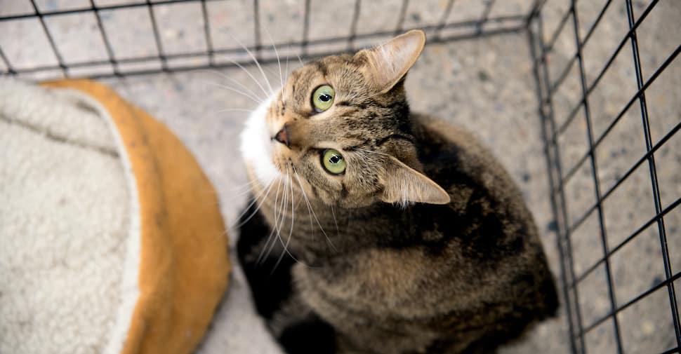 Macintosh HD:Users:brittanyloeffler:Downloads:Upwork:Kittens:adoptable-cat-cropped.jpeg