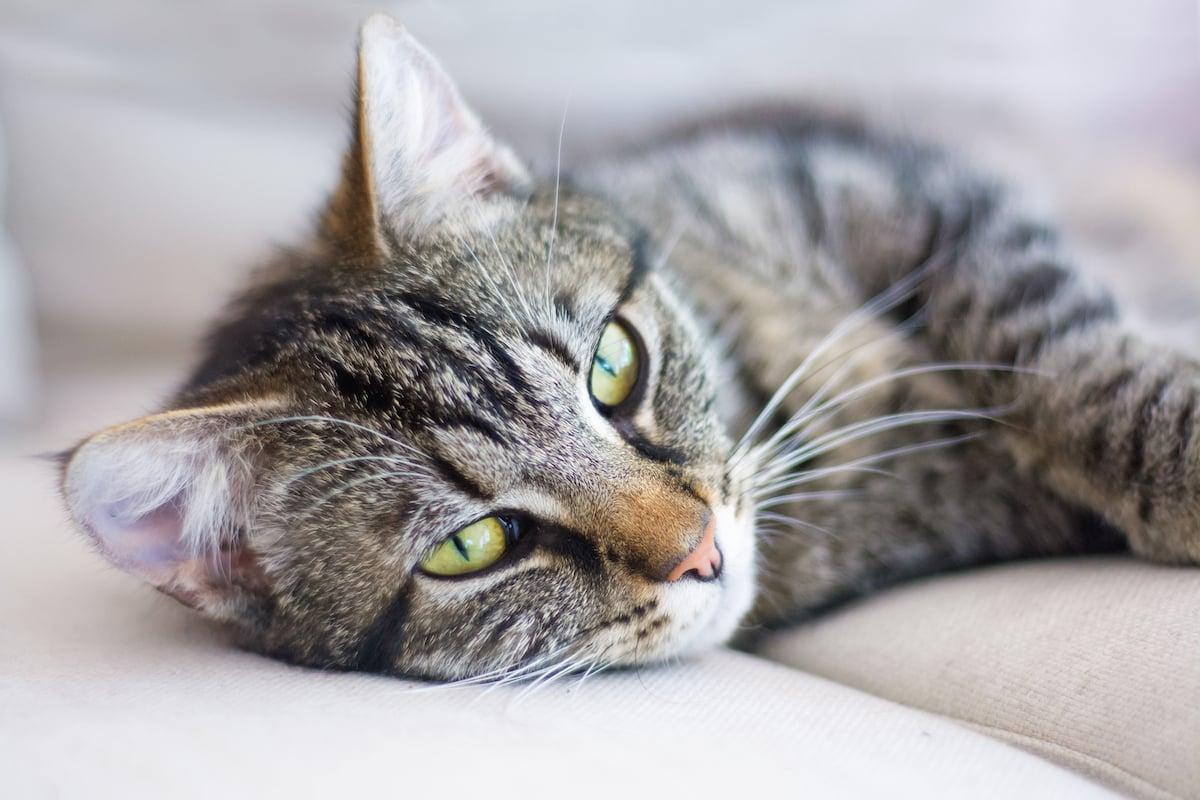 Macintosh HD:Users:brittanyloeffler:Downloads:Upwork:Kittens:CAT-Closeup-LyingDown.jpg