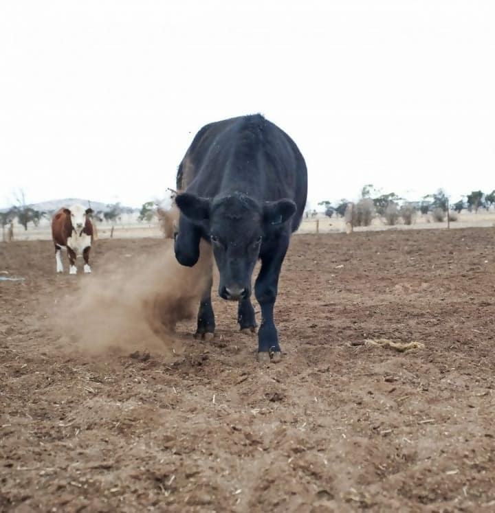 Cow charging