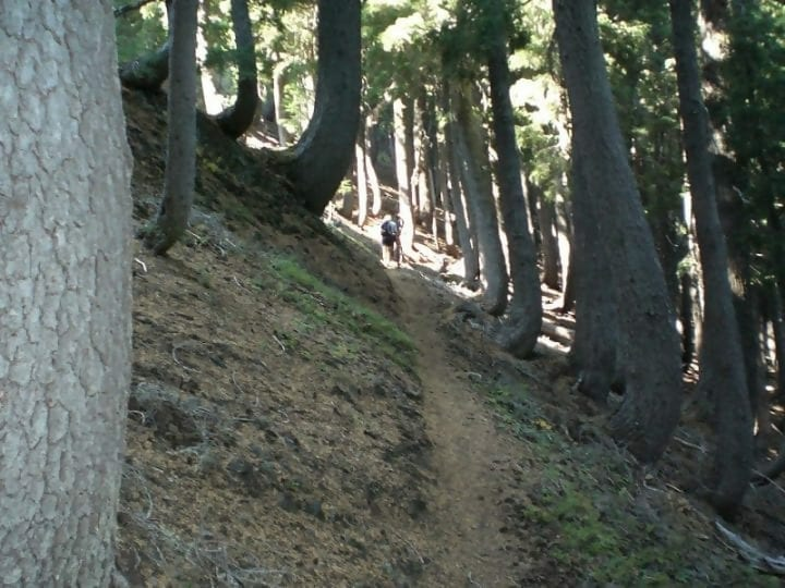 Curved trees on an hillside