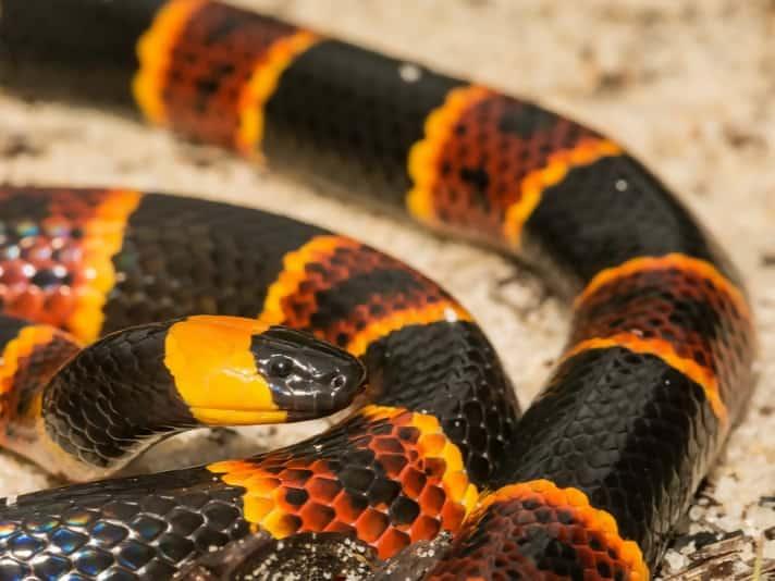https://cdn.science101.com/wp-content/uploads/2019/01/Coral-snake.jpg