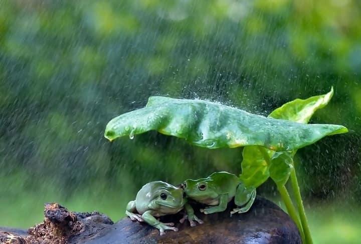 https://cdn.science101.com/wp-content/uploads/2019/01/Frogs-in-rain-2.jpg
