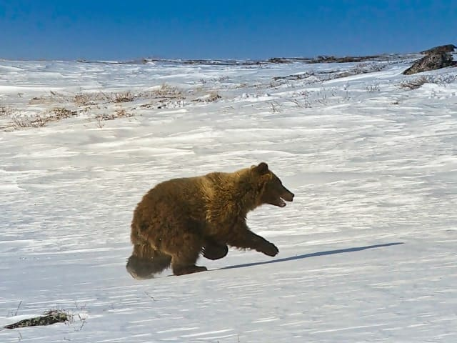 https://cdn.science101.com/wp-content/uploads/2019/01/Grizzly-in-arctic.jpg
