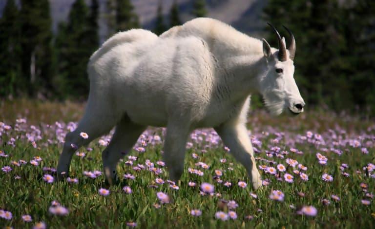 Macintosh HD:Users:brittanyloeffler:Downloads:Upwork:Muscular Animals:Muscular-Goat-e1547754974579-768x470.jpg