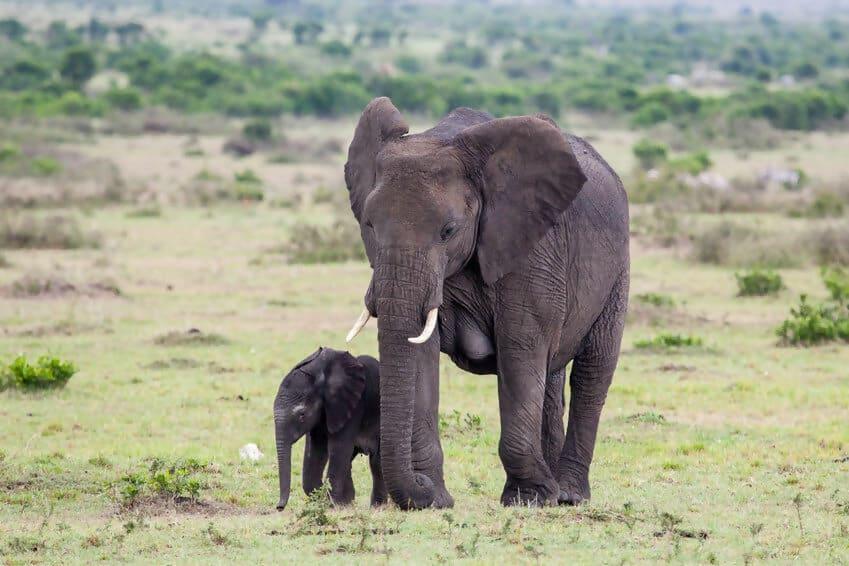 frican elephant.jpg
