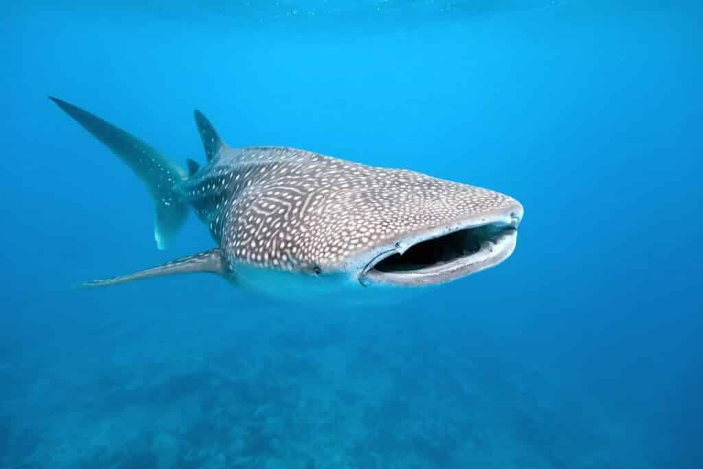 hale shark.jpg