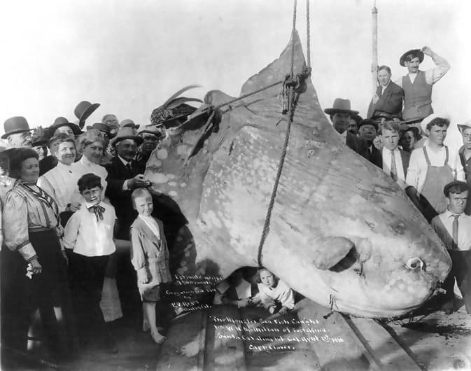 he Biggest Fish On The Planet: Ocean Sunfish