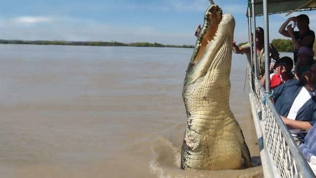 he Saltwater Crocodile That Eats Sharks
