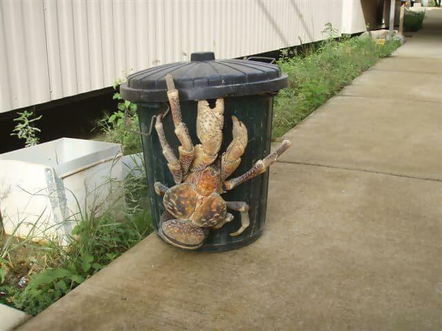 he Three-Foot Long Coconut Crab
