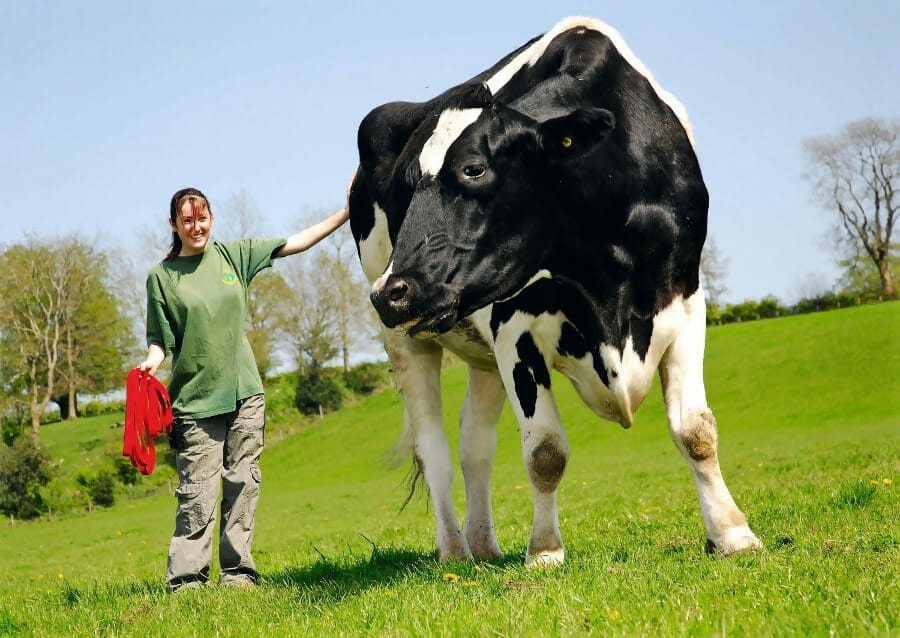 hilli The Giant Cow Weighs 2,750 Pounds
