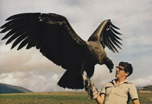 inereous Vulture Has An 8-10 Foot Wingspan