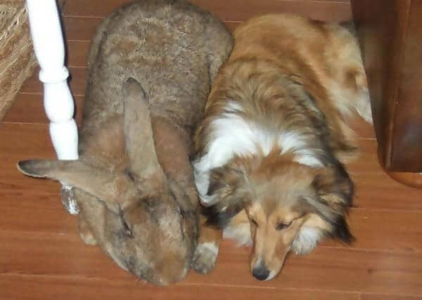lemish Giant Rabbit Is As Big As The Family Dog