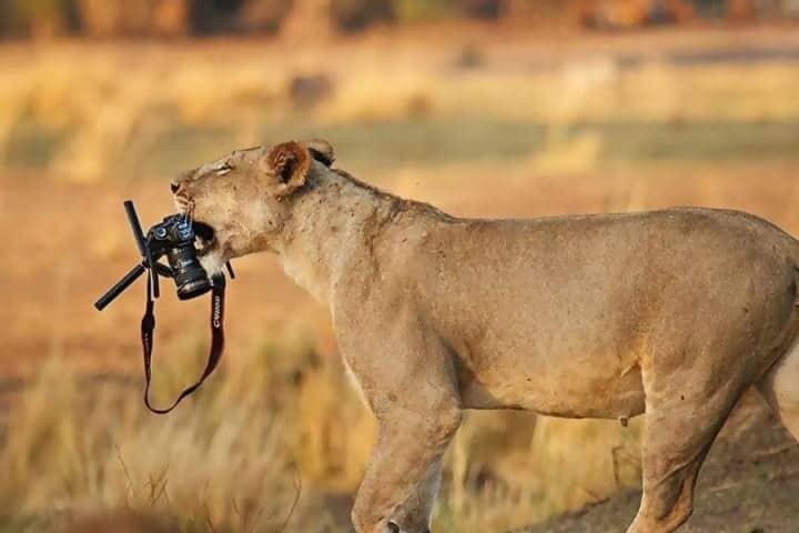 Macintosh HD:Users:rjackson:Desktop:Lion-steals-camera-e1545085130110.jpg