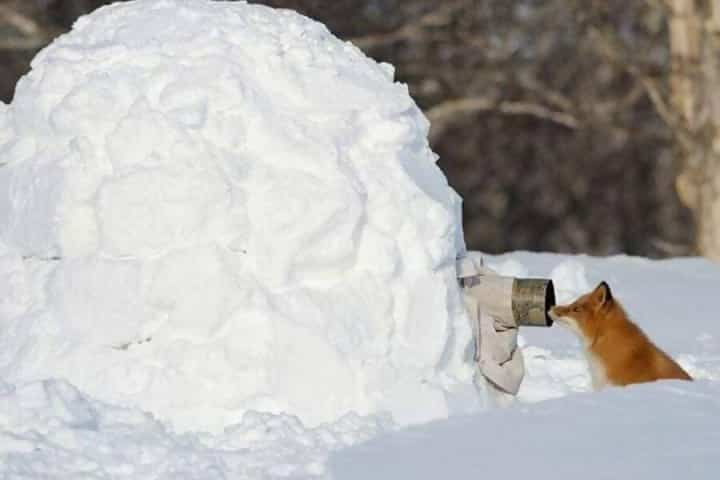 Macintosh HD:Users:rjackson:Desktop:Snow-fox-e1545084950103.jpg