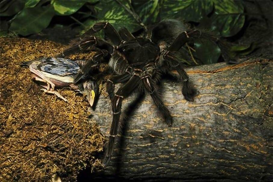 oliath spider.jpg