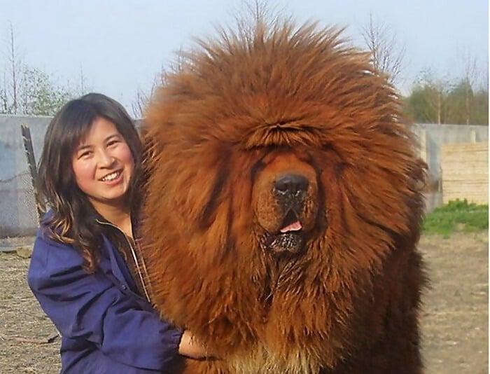 Red Tibetan Mastiff Sold For $1.5 Million