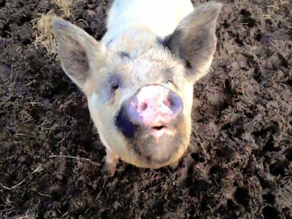 08-blind-cow-pig-calf-baby-lulu