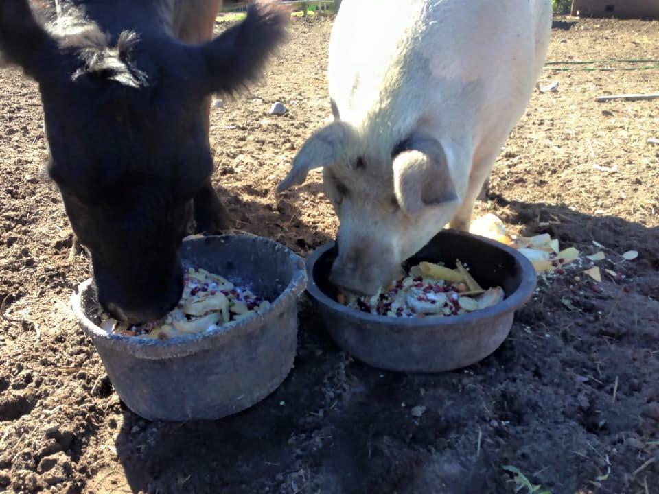 09-blind-cow-pig-calf-baby-lulu